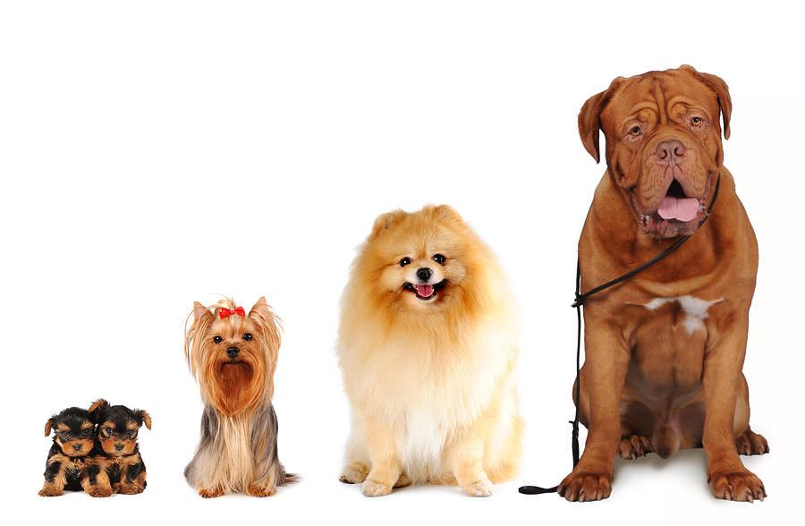 Những Giống Chó Phù Hợp Với Từng Mức Thu Nhập Của Người Việt