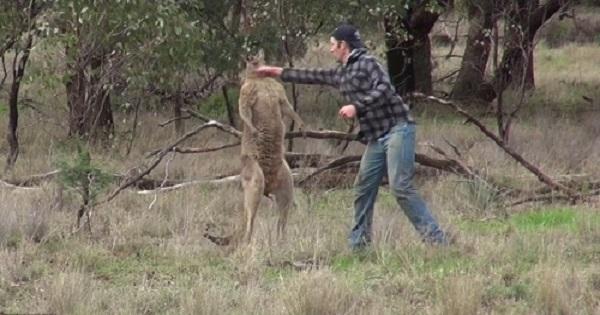 Người đàn ông đấm sấp mặt kangaroo để giải cứu chó cưng bị điều tra