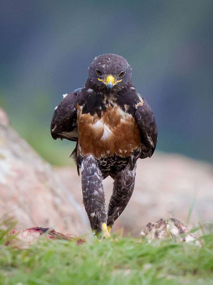 Chú chim ưng bỗng trở thành hiện tượng ảnh chế nhờ dáng đi trất lừ